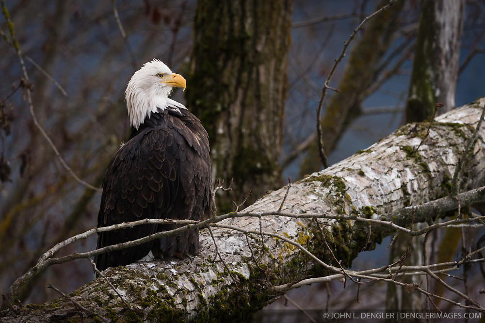 A bald eagle (Haliaeetus leucocephalus) sits on a fallen tree in the Alaska Chilkat Bald Eagle Preserve along the Chilkat River near Haines, Alaska. During late fall, bald eagles congregate along the Chilkat River in the Alaska Chilkat Bald Eagle Preserve to feed on salmon in what is believed to be the largest gathering of bald eagles in the world.