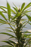 Buds of medicinal marijuana plant cut for harvesting.
