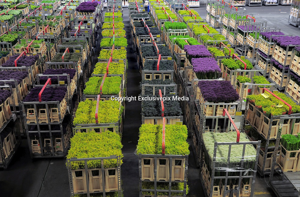 The Unique Flower Auction at Aalsmeer<br /> <br /> The Aalsmeer Flower Auction or Bloemenveiling Aalsmeer in Dutch, takes place in the town of Aalsmeer in North Holland near Amsterdam Schiphol Airport, and is by far the busiest and largest floral market in the world. Everyday 20 million flowers arrive here from all over the world. Whilst a large majority of the flowers sold here are from the Netherlands, many come from far off places like Ecuador, Colombia, Ethiopia, and Kenya. The warehouse itself, where the trading takes place, is the largest building by footprint in the world, covering 518,000 square meters or 243 acres. <br /> Flowers arrive the night before the auction, at around 10 PM, and are cooled and sorted during the night. The auction starts early morning. Carts of flowers are presented to the buyers, one at a time, while they bid on them. The flowers get bought and distributed almost immediately. By late afternoon, all the flowers will have moved out and the warehouse prepared for the next round.<br /> Flowers in Aalsmeer are sold using the infamous Dutch auction system. The price is set high and a clock starts ticking down from 100. As time falls, so does the price of the cart. The first person to make a bid gets the cart. Anyone buying too fast risks overpay, but those waiting too long for the price to drop may go home empty handed. This unique system was invented in the 17th century for selling Dutch tulip bulbs, and is based on a pricing system devised by Nobel prize winning economist William Vickrey. The ingenuity of the Dutch auction ensures that flowers are sold off quickly while extracting the highest price out of the dealer who wants the lot the most.<br /> The bidding process can be seen on the large screens inside the auction room. Visitors are allowed but neither them nor buyers can get close to the flowers. The most interesting aspect of the Aalsmeer flower market is seeing the logistics in action, rather than admiring flowers up close. The closest one can get to the f