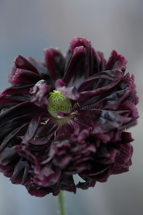 Papaver somniferum 'Black Peony' - poppy