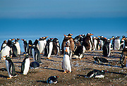 Gentoo Penguins, Falkland Islands RESERVED USE - NOT FOR DOWNLOAD -  FOR USE CONTACT TIM GRAHAM