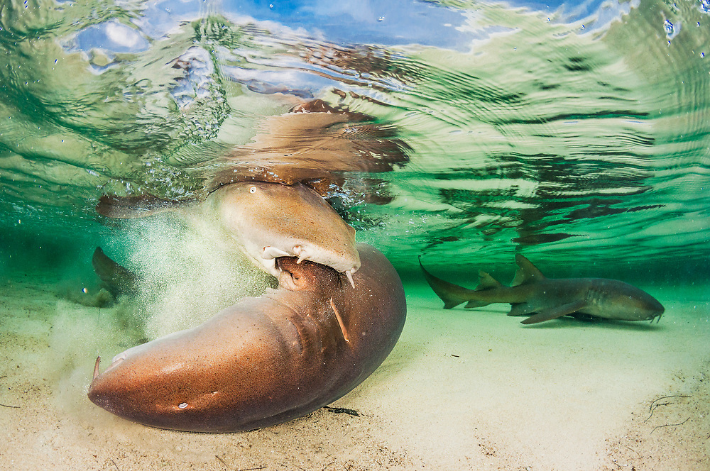 Nurse shark mating is a brutal affair. The male grips the female by the pectoral fin and tries to pin her to the bottom so he can insert his clasper in her cloaca.