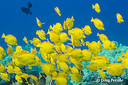 schooling yellow tangs, Zebrasoma flavescens, with whitebar surgeonfish, Acanthurus leucopareius, Honaunau, Kona, Hawaii Island ( the Big Island ) Hawaiian Islands( Central Pacific Ocean )