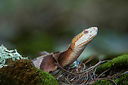 Copperhead (Agkistrodon contortrix)<br /> CAPTIVE<br /> Northern Georgia<br /> USA<br /> HABITAT &amp; RANGE: Forested habitats but most common on rocky, wooded hillsides in the mountains and along swamp and river edges. South eastern USA