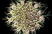 Wild carrot (Daucus carota) - Wilde Möhre
