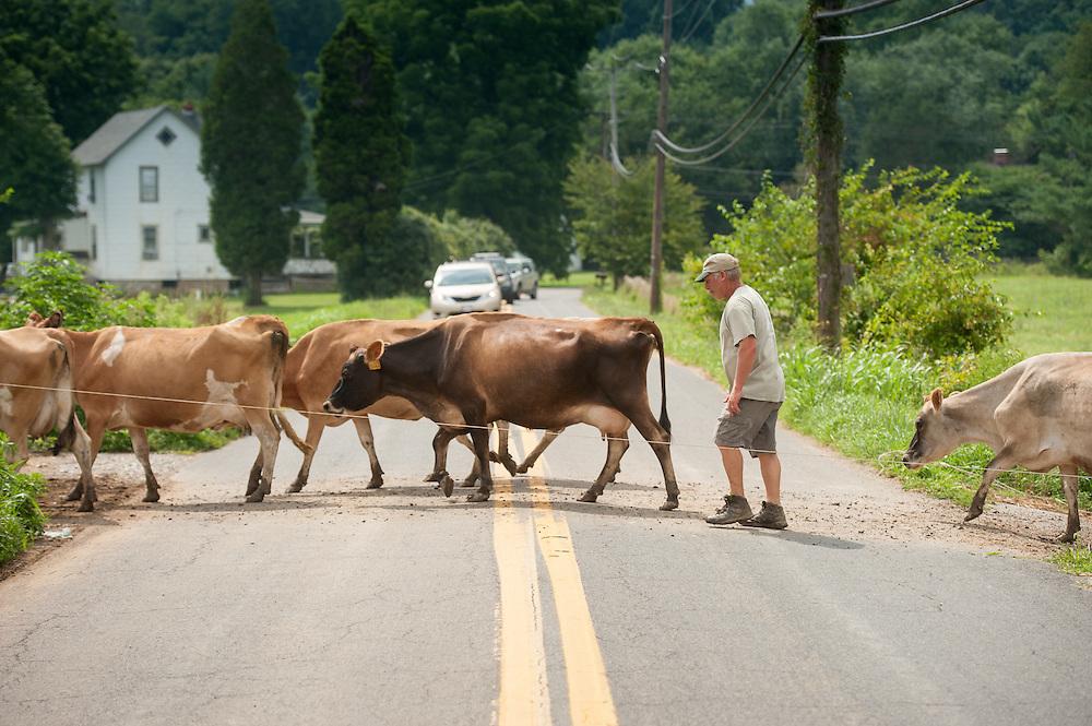 Farmer guiding dairy cows across the road near Long Green, Maryland, USA