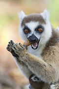 Ring-tailed Lemur<br /> Lemur catta<br /> Mother cracking open seed pod<br /> Berenty Private Reserve, Madagascar