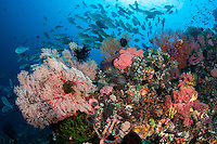 Reef slope teeming with Hard and Soft Corals, schooling fish<br /> <br /> <br /> Shot in Indonesia