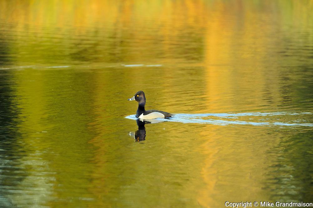 Lesser Scaup (Aythya affinis) - diving duck<br /> Pakwash Provincial Park<br /> Ontario<br /> Canada