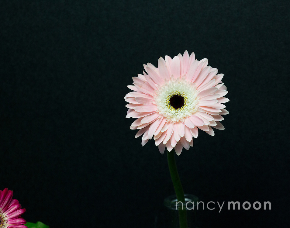 Gerbera Daisy, in pink, with a dramatic upclose composition, against a black backdrop.<br />