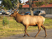 A bull elk (or stag) sports a rack of antlers at Mammoth Hot Springs, Yellowstone National Park, Wyoming, USA. The elk or wapiti (Cervus canadensis) is one of the largest species of deer in the world. Yellowstone was the first national park in the world (1872), and UNESCO honored it as a World Heritage site in 1978.