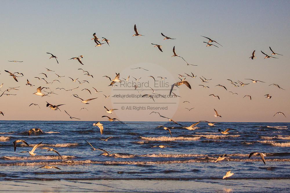 Sea birds along the beach on Sullivan's Island, SC.