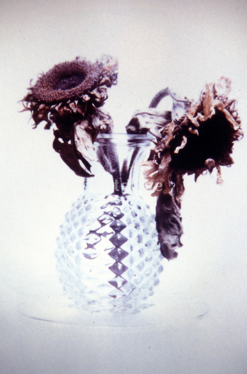 Still life of dried sunflowers in a crystal vase