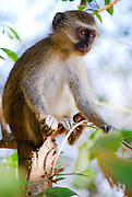Vervet monkey. South Luangwa, Zambia. (Chlorocebus pygerythrus)