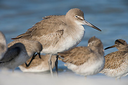 Willets, Catoptrophorus semipalmatus, at Fort De Soto Park in Pinellas County, Florida. Winter plumage.