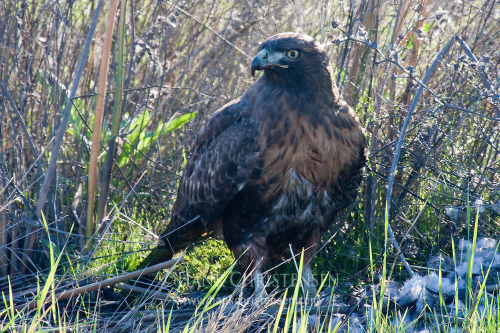 Dark Morph Red-tailed Hawk stands in wetland grasses, looking up after eating its prey
