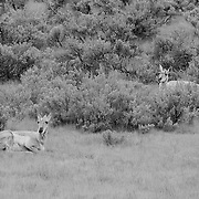 Resting Pronghorn Wide View - Lamar Valley - Yellowstone National Park - Infrared Black & White
