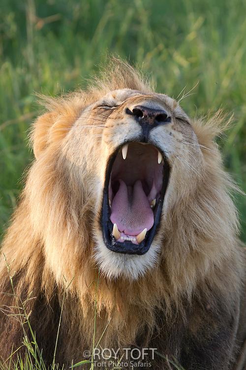 An African lion yawning, Botswana, Africa