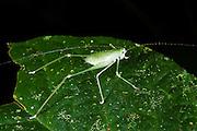 Katydid (Tettigoniidae)<br /> Yasuni National Park, Amazon Rainforest<br /> ECUADOR. South America
