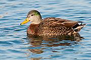 Mallard, American Black Duck hybrid, Anas platyrhynchos x rubripes, male, Detroit River, Ontario, Canada