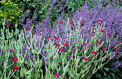 Nepeta x faassenii and Lychnis coronaria in the gravel garden. Catmint
