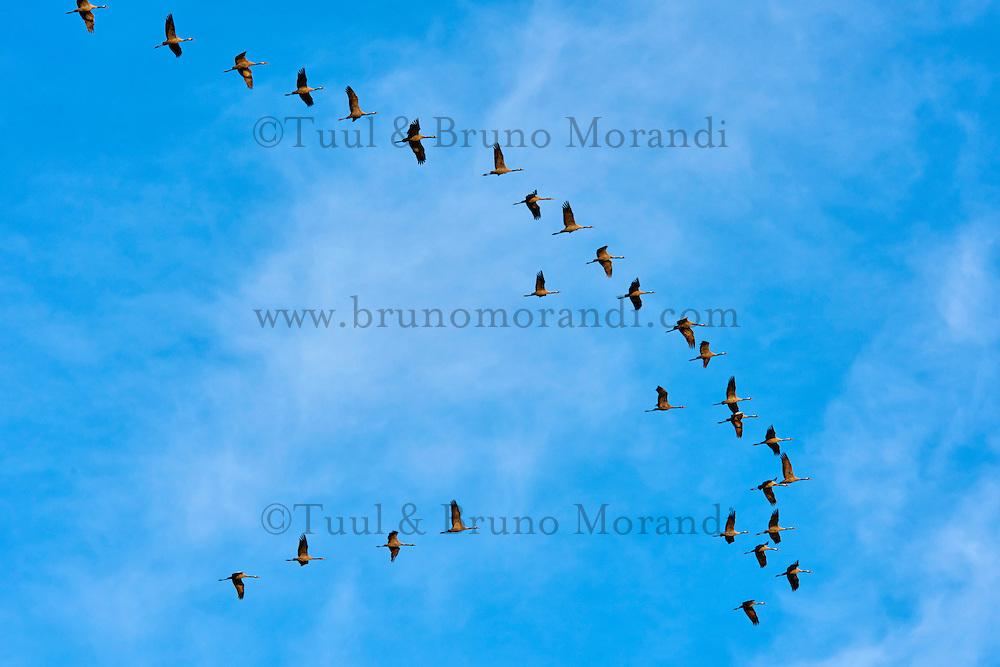 France, Indre (36), le Berry, parc naturel régional de la Brenne, vol des grues cendrées // France, Indre (36), le Berry, Brenne, natural park, common crane