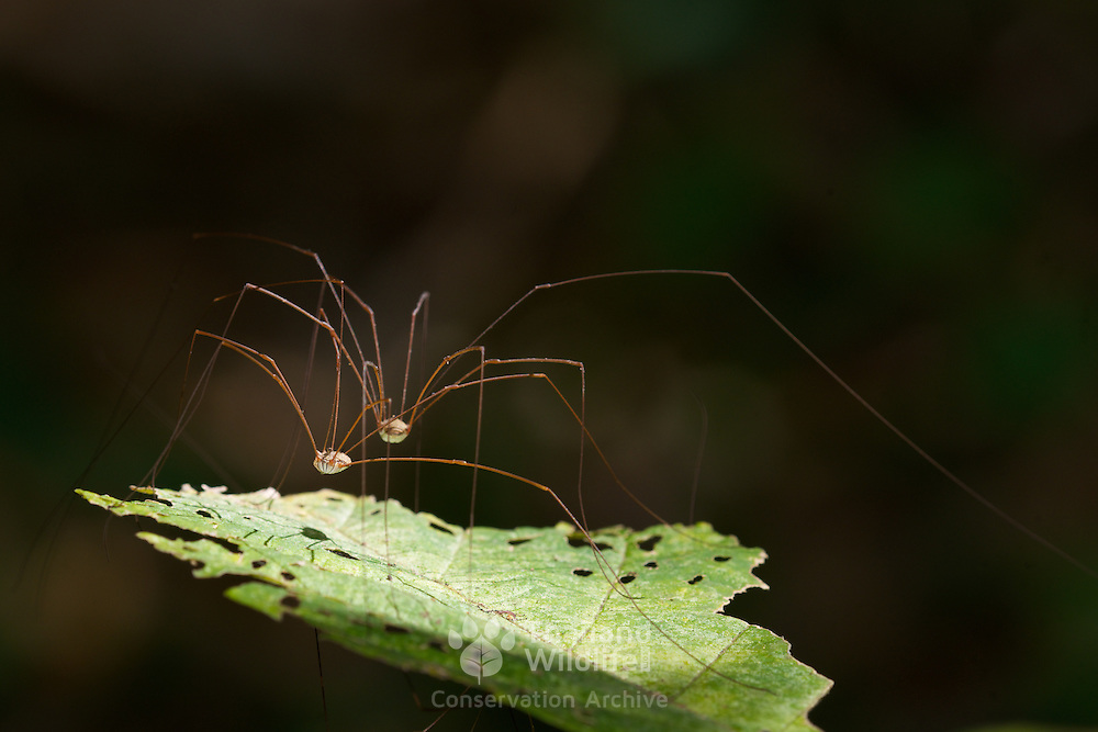 Harvestmen (Opiliones) spiders are known for their long, delicate legs and their oval body.