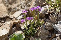 Erinus alpinus, Fairy foxglove