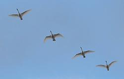 Four wintering Trumpeter Swans (Cygnus buccinator) fly overhead, Fir Island, Skagit River delta, Washington, USA