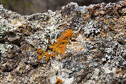Striking orange lichen on a rock overlooking The Gulch, Bicheno.