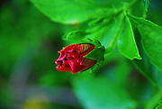 Red hibiscus bud with green background