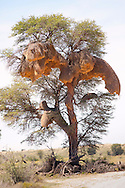 Sociable weaver nests on the Nossob river in the Kgalagadi Transfrontier National Park