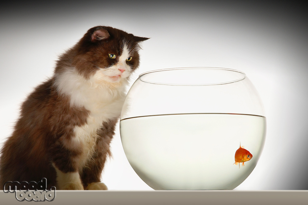 Cat sitting looking at goldfish in fishbowl side view