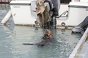 sea otter, Enhydra lutris ( Endangered Species ), eating mussels next to fuel dock in marina, Valdez, Alaska ( Prince William Sound )