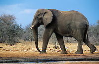 African Elephant (Loxodonta Africana) walking on savannah