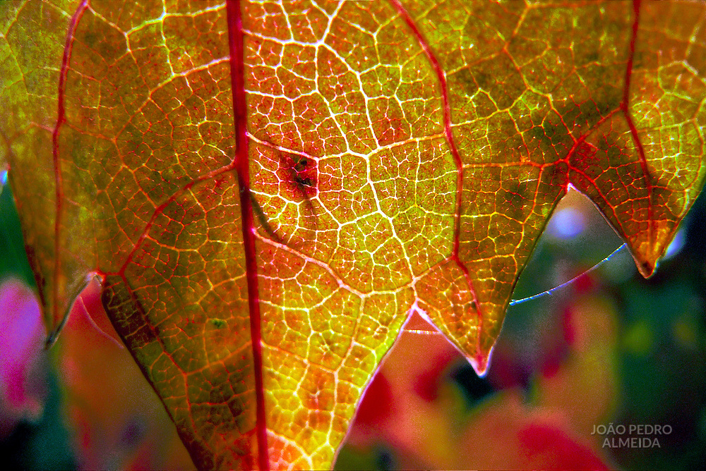 Detail of leaf at Douro vineard at Autumn