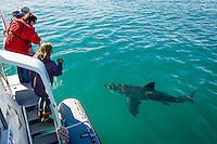 Tourists watching a Great White Shark swimming past their boat, Gansbaai, Western Cape, South Africa