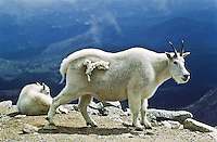 Mountain goats (Oreamnos americanus) Mountain goats inhabit some of the most inhospitable areas on the alpine tundra.  Mount Evans, Colorado.