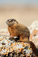 The Yellow Bellied Marmot also known as a rock chuck can be found in Utah almost everywhere.