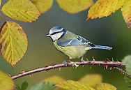 Blue Tit Cyanistes caeruleus L 11-12cm. Familiar garden and woodland bird. Sexes are similar. Adult has greenish back, blue wings and yellow underparts. Mainly white head is demarcated by dark blue collar, connecting to dark eyestripe and dark bib; cap is blue. Bill is short and stubby and legs are bluish. Male is brighter than female. Juvenile is similar but colours are subdued. Voice Call is chattering tser err-err-err. Song contains whistling and trilling elements. Status Common resident of deciduous woodland, parks and gardens.