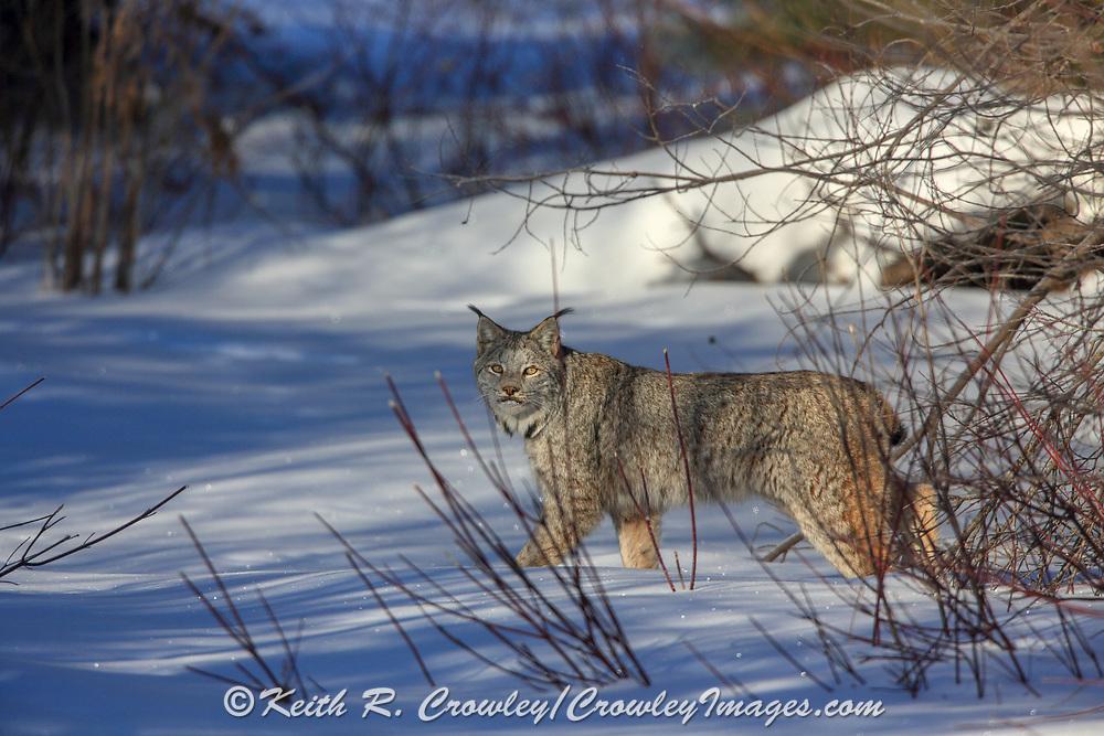 Adult Canadian lynx (Lynx canadensis) hunting in Minnesota.