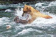 An Alaskan Brown bear lunges for a salmon at Brooks Falls in Katmai National park near King Salmon, Alaska.