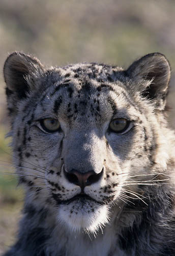 Snow Leopard (Panthera uncia) inhabits the high mountains in Central Asia.  Captive Animal.