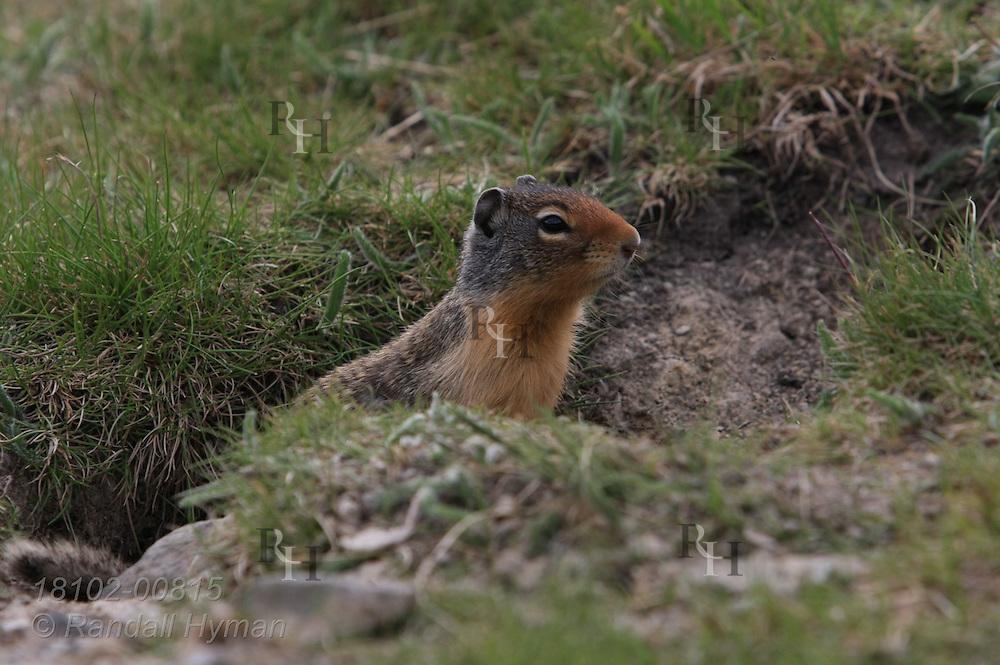 Columbian ground squirrel (Urocitellus columbianus) pauses at burrow entrance; Lake Louise, Banff National Park, Alberta, Canada.