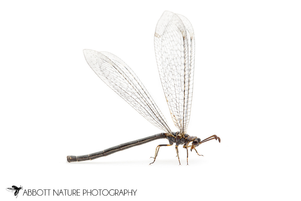 Ant Lion (Myrmeleon sp., prob. either rusticus or timidus)<br /> CALIFORNIA: Kern Co.<br /> Rivernook Campground; Kernville<br /> 8-13.June.2012 <br /> J.C. Abbott #2599 &amp; K.K. Abbott
