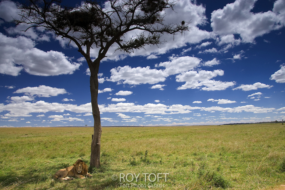 Male African Lion (Panthera leo) lying in shade of Acacia Tree in Masai Mara, Kenya, Africa