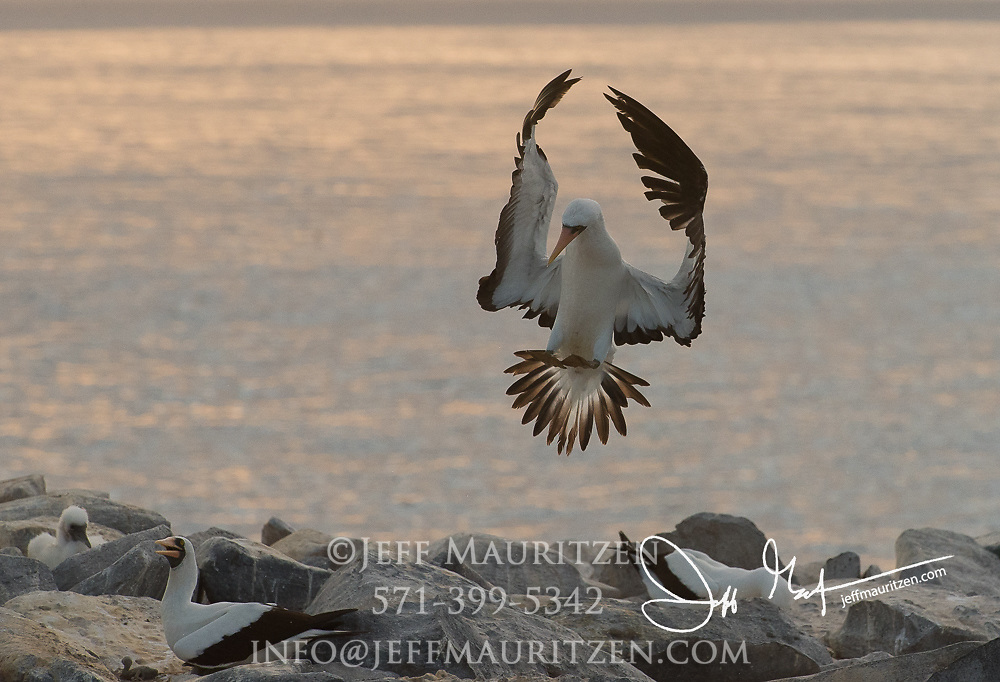 A Nazca booby lands on Espanola island in the Galapagos islands, Ecuador.