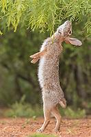 Eastern Cottontail, Sylvilagus floridanus;<br /> Photographer:  Hector Astorga<br /> Property: Santa Clara Ranch/Beto &amp; Clare Gutierrez<br /> Starr County