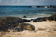 A Sea Turtle lounging on the beach on the north shore of Oahu