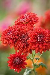 Chrysanthemum 'Red Medallion'